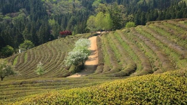 Visit Korea - Boseong Green Tea Plantation