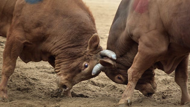 Visit Korea - Bull fights